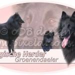 Belgische Herder - Groenendaeler